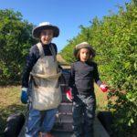 Picking the limes, Lime Rise Farm, Maryborough, QLD