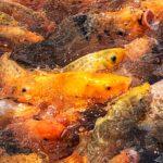Fish swarming for food at Tirtagangga Water Palace, Bali