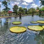Tirtagangga Water Palace lilypads