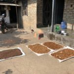 Drying hulled coffee beans