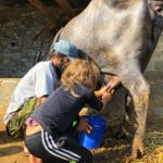 Milking a buffalo