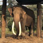 Nepali elephant