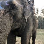Asian elephant purchased by Nepal from India for trekking