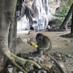 That same corn stolen by a cheeky monkey