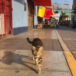Lima cat