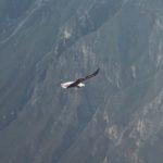 The Andean condor!